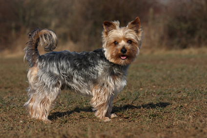 Dog Breeds With Short Tails